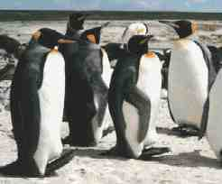 Falkland Islands King Penguins