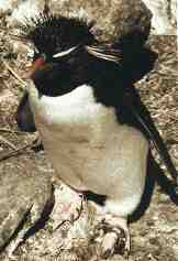 Falkland Islands Rockhopper Penguins